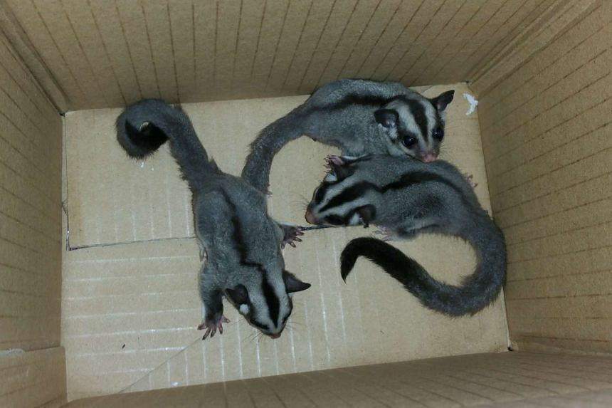 Three sugar gliders were also found in a small pouch hidden behind the glove compartment.