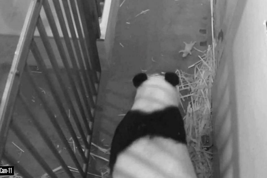 Giant panda Mei Xiang as she watches her remaining cub, which has been identified as male.