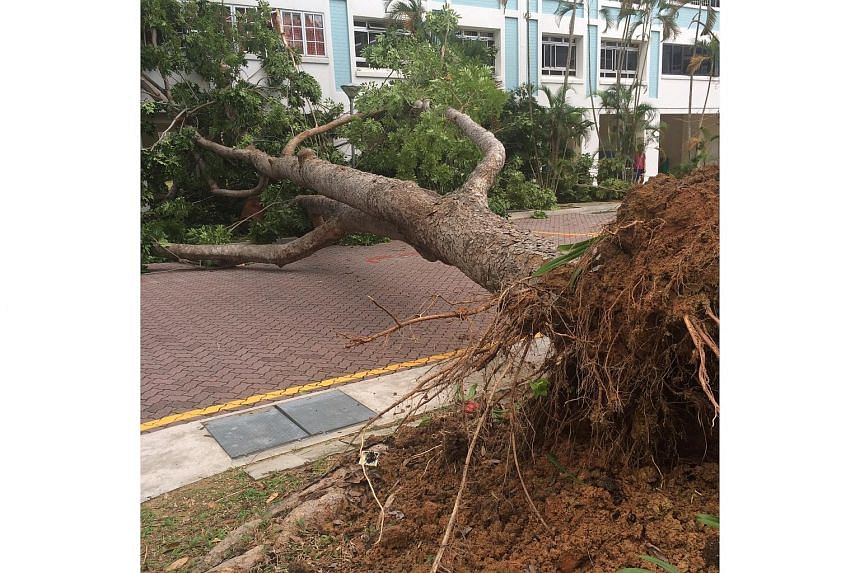 An 11-year-old boy was taken to the hospital on Sunday (Aug 30) after a tree uprooted and fell on a Housing Board block in Pasir Ris.