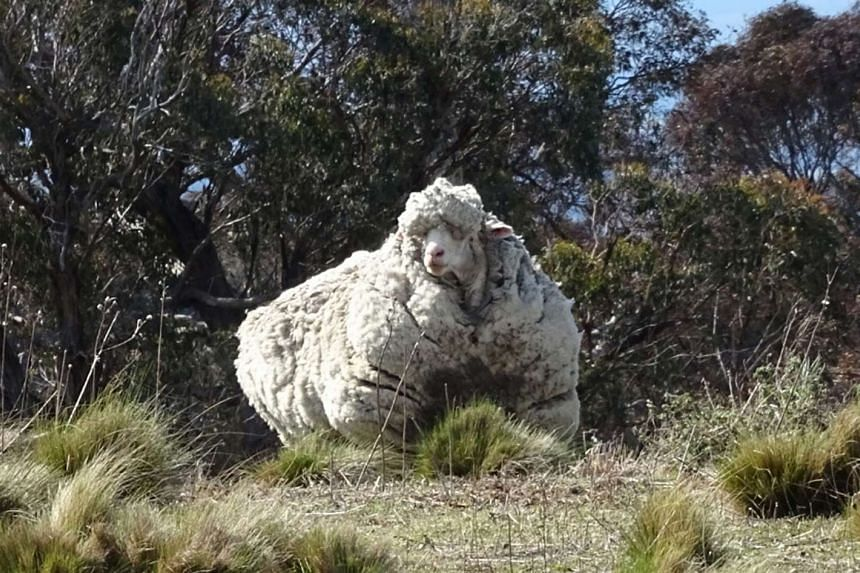 The woolly merino sheep was spotted wandering on its own near a grassy woodland outside Canberra.
