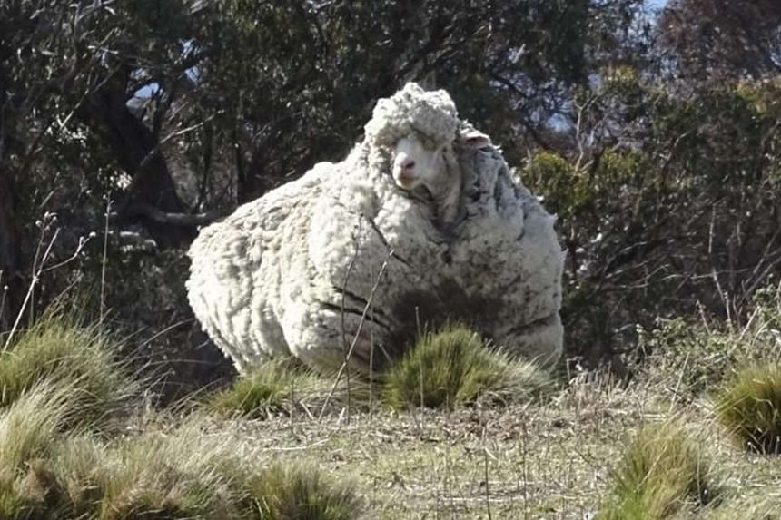 Chris the sheep before it was shorn in Canberra on Sept 3.