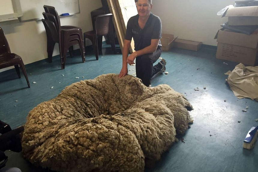 Australian champion shearer Ian Elkins posing with the record-breaking fleece from Chris the sheep, in Canberra on Sept 3.