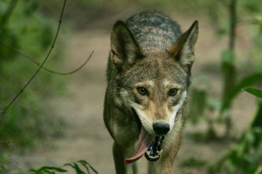 A red wolf walking in the Alligator River National Wildlife Refuge in North Carolina is shown in this July 22, 2009 handout photo provided by the U.S. Fish and Wildlife Service.