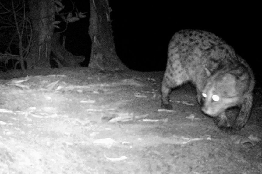 Fauna and Flora International (FFI) has released a camera trap photo that shows a Cambodian fishing cat at Peam Krasop Wildlife Sanctuary in Koh Kong province, Cambodia. The rare wild cat was photographed in Cambodia for the first time in more than a