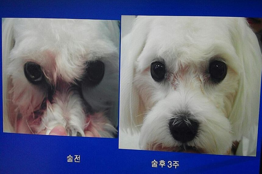 Dr Yoon Shin Geun (left) started doing cosmetic procedures on animals a decade ago. Photos of a dog (above, left) before and after a procedure to prevent tears from forming reddish stains on its face. A cat (above) before its nose job.