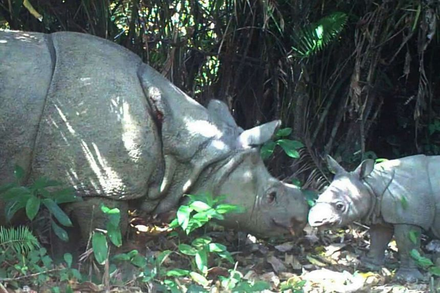 A female rhino (left) and a calf (right) roaming in Ujung Kulon national park. Three new Javan rhino calves have been filmed roaming through an Indonesian national park, conservationists say, in a boost for the world's rarest rhino.