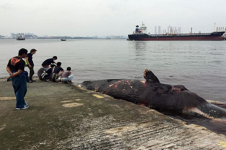 A dead sperm whale found near Jurong Island on July 10. It had a gash on its back, possibly from a ship's propeller.