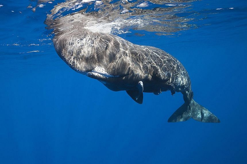 "A new study suggests that social learning, rather than genetic transmission, explains how sperm whales cohere into distinct ""clans""."