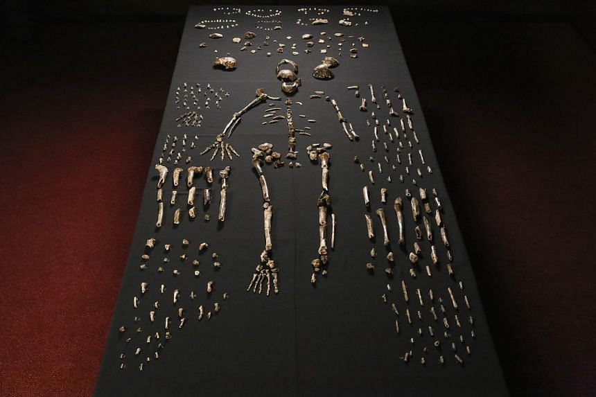 The skeleton of Homo naledi pictured in the Wits bone vault at the Evolutionary Studies Institute at the University of the Witwatersrand, Johannesburg on Sept 13, 2014.