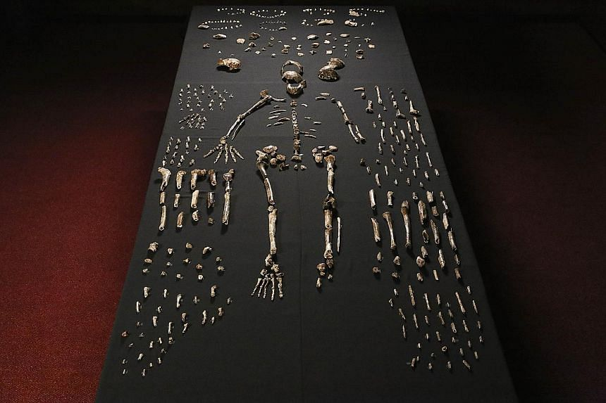 A replica (above) of the skull of a newly discovered ancient species, named Homo naledi. A skeleton (right) of Homo naledi.