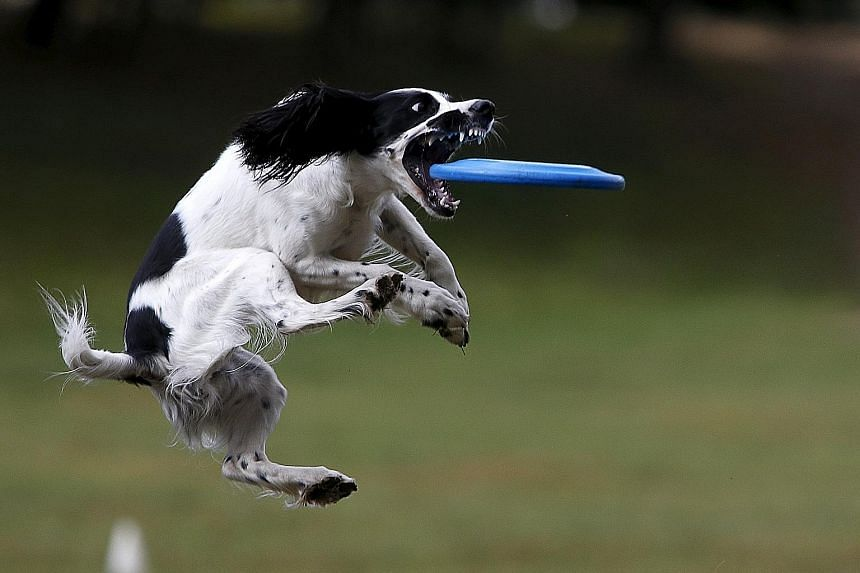 A dog catching a frisbee during a dog frisbee competition in Moscow on Sunday. Dogs and their owners took part in a variety of distance and accuracy tests during the competition to assess their frisbee skills.