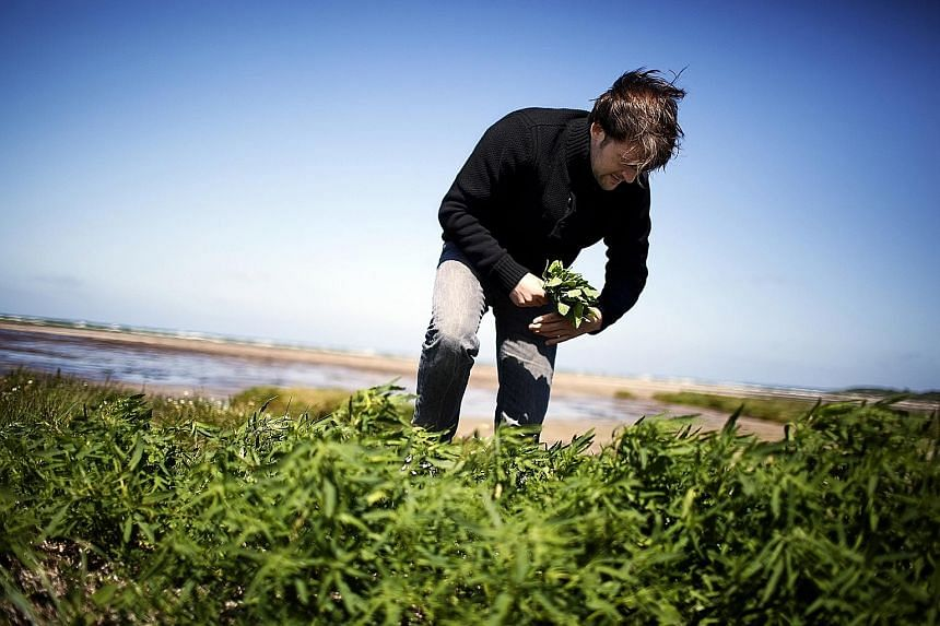 Chef Rene Redzepi (above) wants his menu to feature seasonal produce, such as the wild herbs he is picking near Copenhagen.