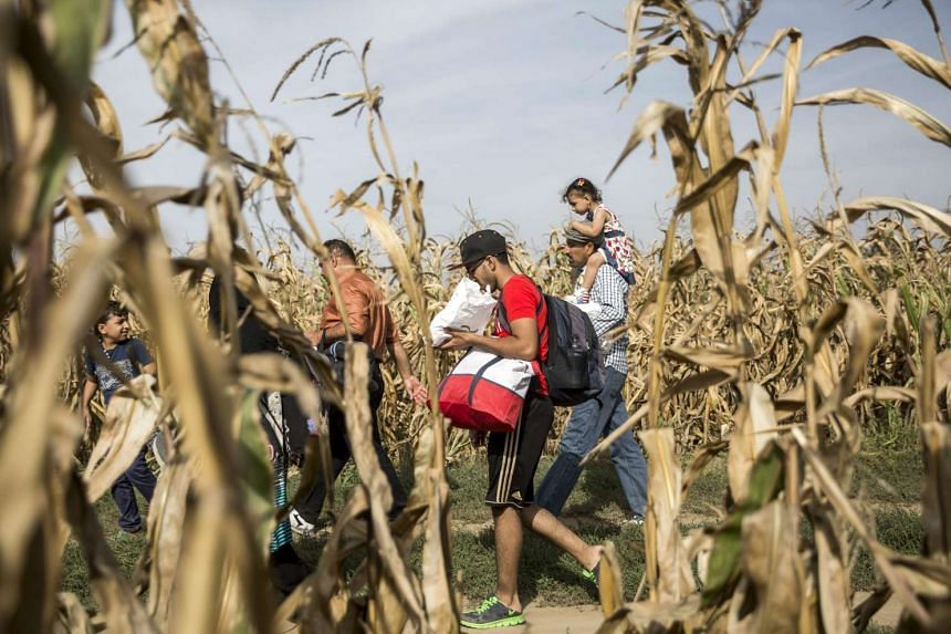 Migrants walking in a cornfield at the border between Serbia and Croatia on Sept 16, 2015.
