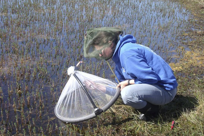 Ecologist and study leader Lauren Culler monitoring Arctic mosquitoes in shallow tundra ponds near Kangerlussuaq, Greenland.