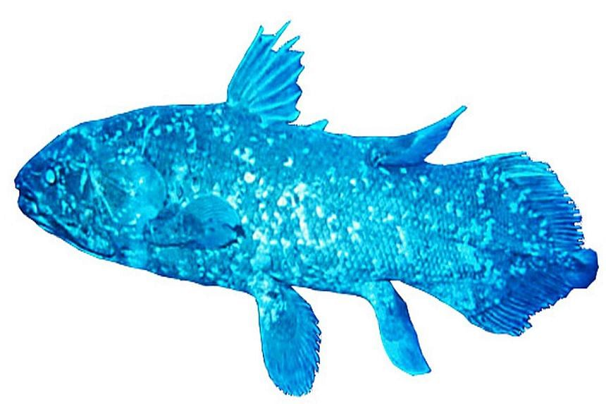 """Other than its obsolete lung, the coelacanth - a strange fish that is referred to as a """"living fossil"""" - also has paired, lobe-shaped fins, which move in an alternating pattern similar to that of a four-limbed land animal."""