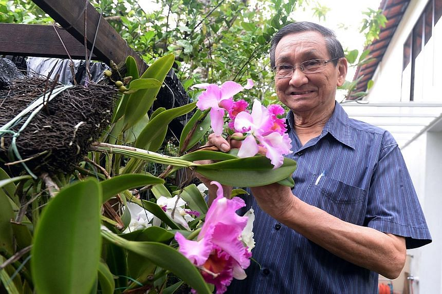 Dr Teoh Eng Soon in his home garden at Bukit Timah, cupping one of the Brassolaeliocattleya Pink Diamond orchids he has lovingly nurtured. The former president of the Orchid Society of South-east Asia was first beguiled by these exquisite flora more