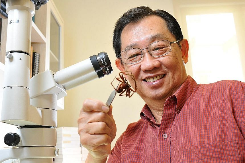 Mr Joseph Koh with what is probably an orange huntsman spider (Heteropoda sp.) from Brunei in his home laboratory.