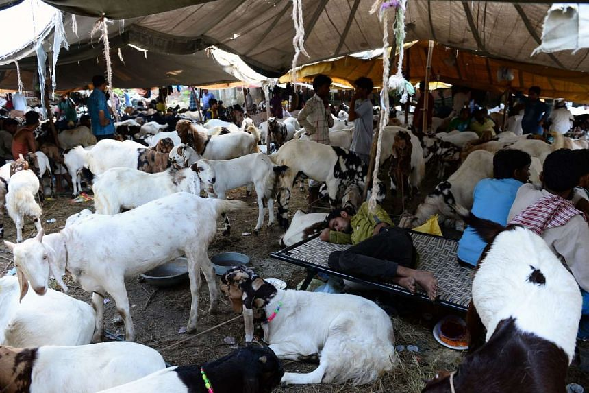An Indian livestock trader sleeps among goats at a market ahead of the upcoming Eid al-Adha festival in the old quarters of New Delhi.