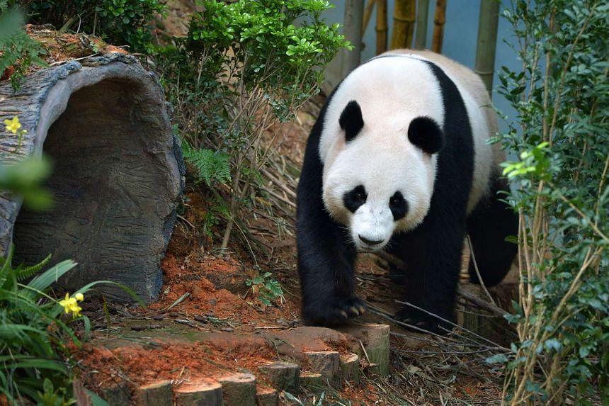 Panda Jia Jia in her enclosure at the River Safari.