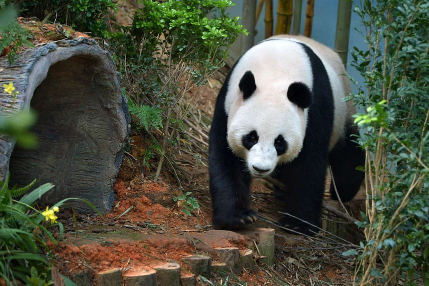 Panda Jia Jia in her enclosure at the River Safari.