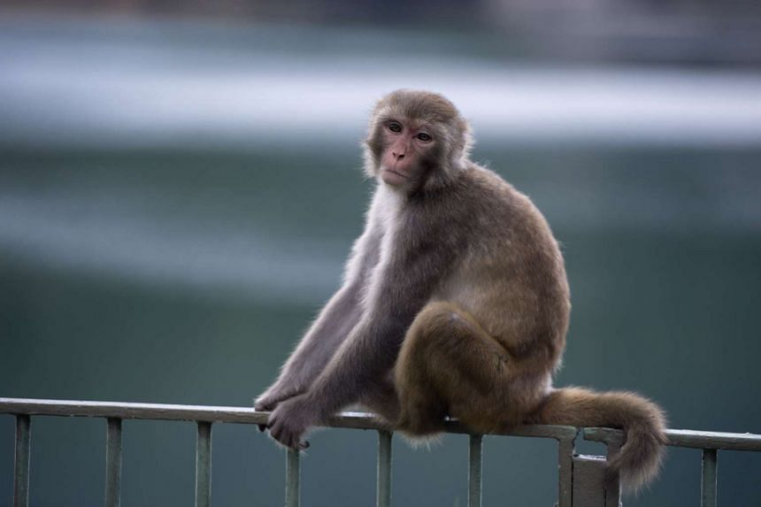 A macaque monkey in a country park in Hong Kong.