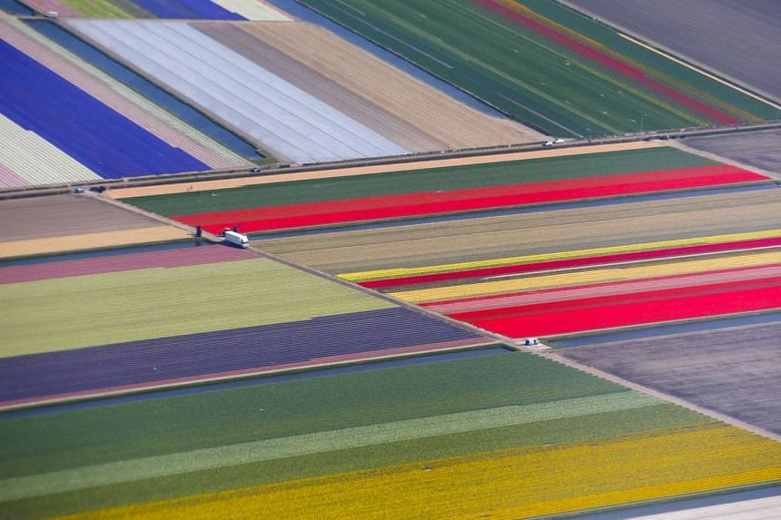 An aerial view of flower fields is seen near the Keukenhof park, also known as the Garden of Europe, in Lisse, The Netherlands, in an April 15, 2015 file photo, eighth in Reuters list of  its twenty most-liked Instagram photos so far.