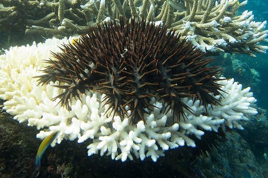 A crown-of-thorns starfish feeding on coral on Australia's Great Barrier Reef. The reef is in poor condition and the state of inshore areas along its 2,300km length is not improving quickly enough, a report released this week warned. The study by the