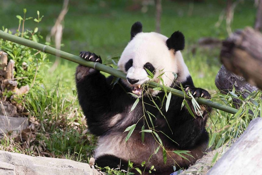 Two brothers and a trader face prosecution for killing a panda and selling its meat and paws.