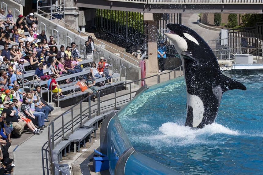 Visitors are greeted by an Orca killer whale as they attend a show at SeaWorld in San Diego, California.