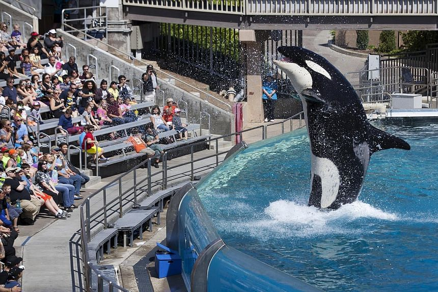 A show at SeaWorld in San Diego featuring its killer whales. California regulators have recommended approval of a plan by SeaWorld to build larger tanks for the animals despite strong opposition.