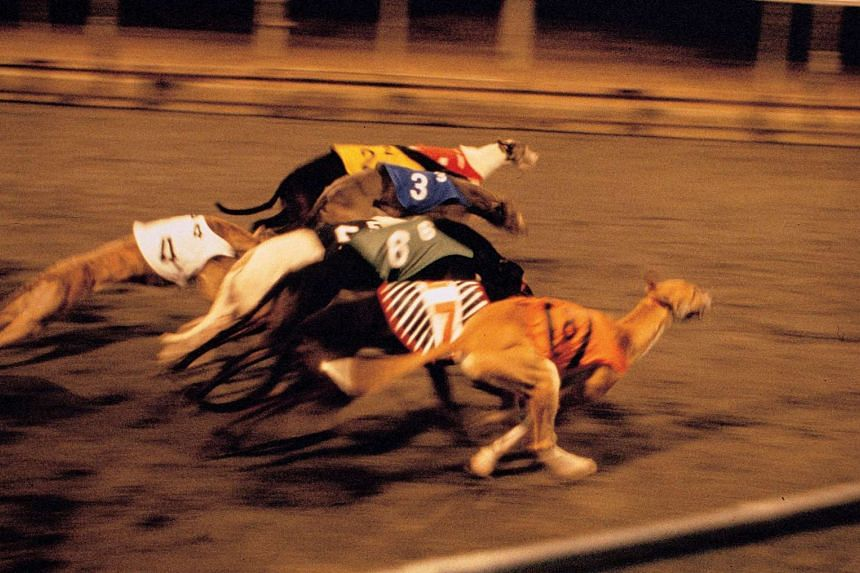 Greyhound racing in Macau. Australia has one of the world's largest greyhound racing industries and live baiting has been banned and criminalised for decades.