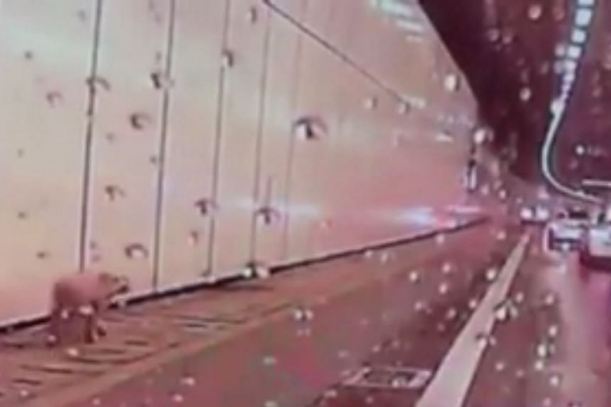A video of the puppy wandering in the tunnel on the Kallang-Paya Lebar Expressway (KPE) was circulated on social media.