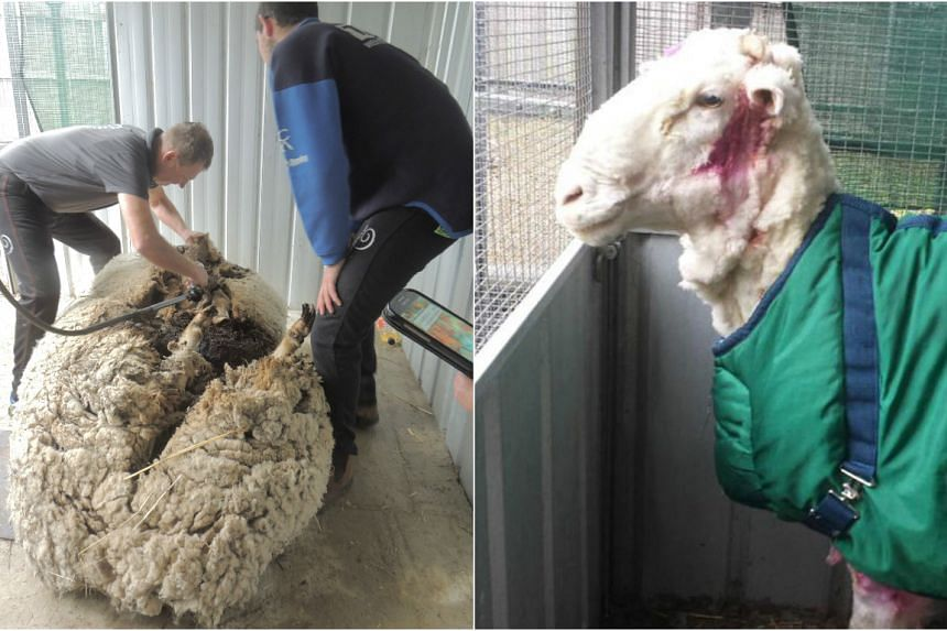 Australian sheep shearer Ian Elkins shearing wool from Chris the sheep on Sept 3, 2015 (right), and Chris the sheep after the 41.1kg of wool was taken off it.