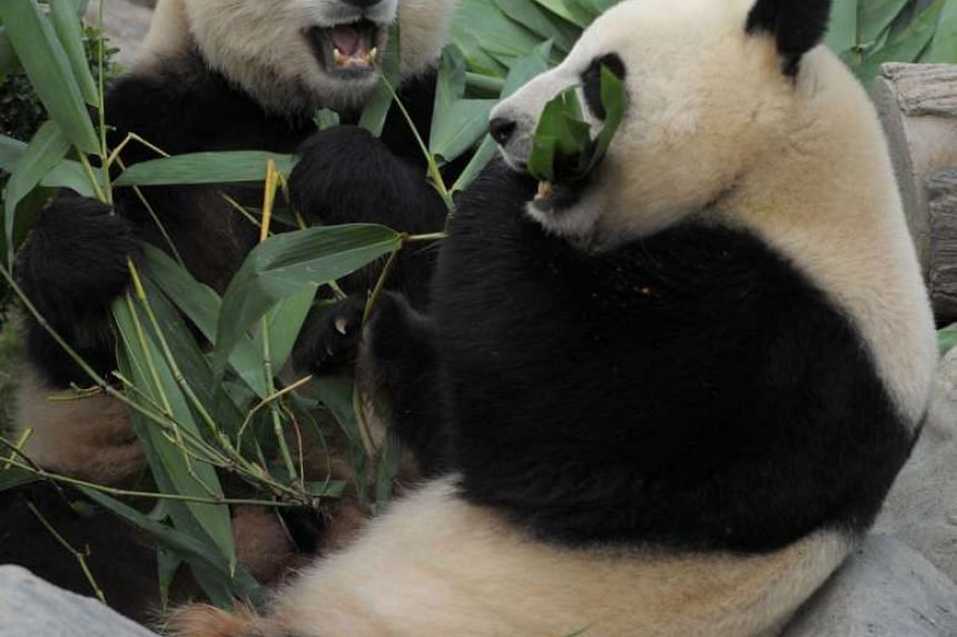 Giant Pandas Ying Ying (right) and Le Le chew on bamboo shoots at Ocean Park in Hong Kong. It's a pregnancy that's been a long time coming, and now, after years of trying, Hong Kong's beloved Ying Ying panda is finally expecting a cub.