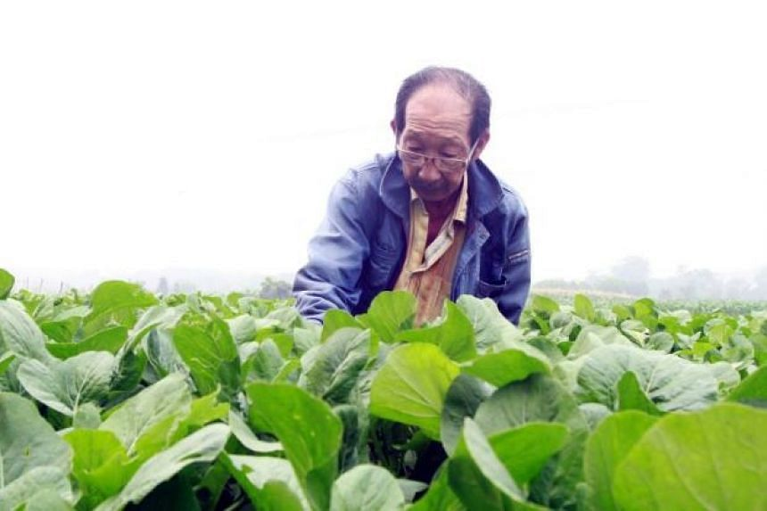 Farmer Ong Siew Seng, 68, checking his vegetables at his farm in Kampung Paya Rumput in Sungai Udang, Malacca. In the background is the worsening haze.