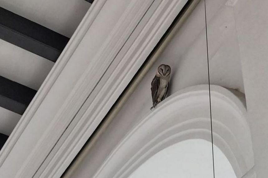 The barn owl perched near the ceiling of Prime Minister Lee Hsien Loong's office.