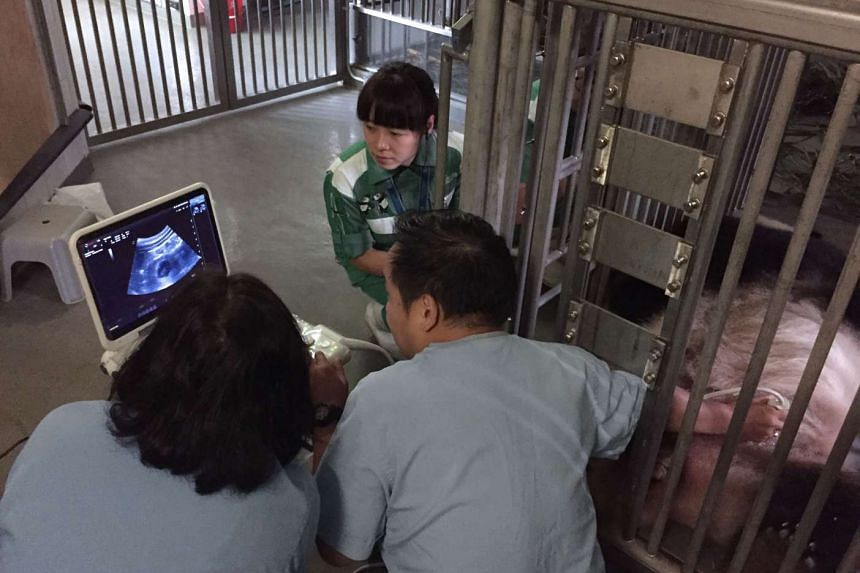This handout photograph taken on Sept 22, 2015 and released by Ocean Park on Oct 1, 2015 shows Ying Ying the panda getting an ultrasound check during her pregnancy at Ocean Park in Hong Kong. Ying Ying has had a miscarriage, the park said on Oct 7, r