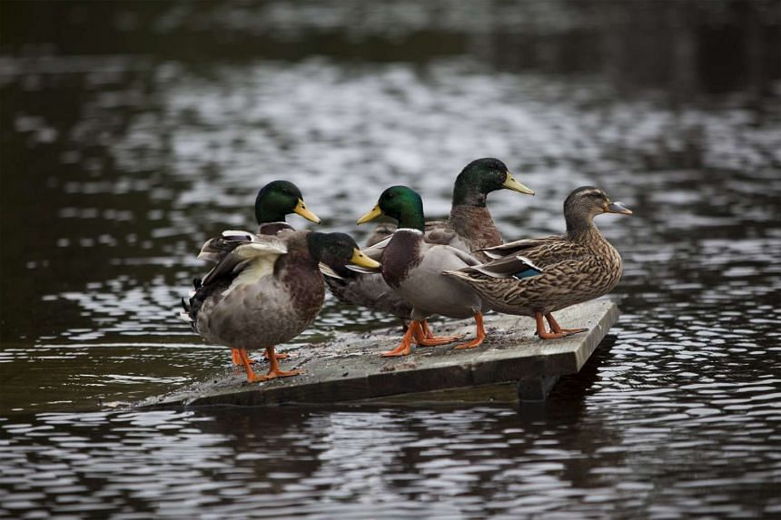 Mallard Ducks find the weather not even fit for them, finding a high spot along a flooded area along in Conway, South Carolina in the US.