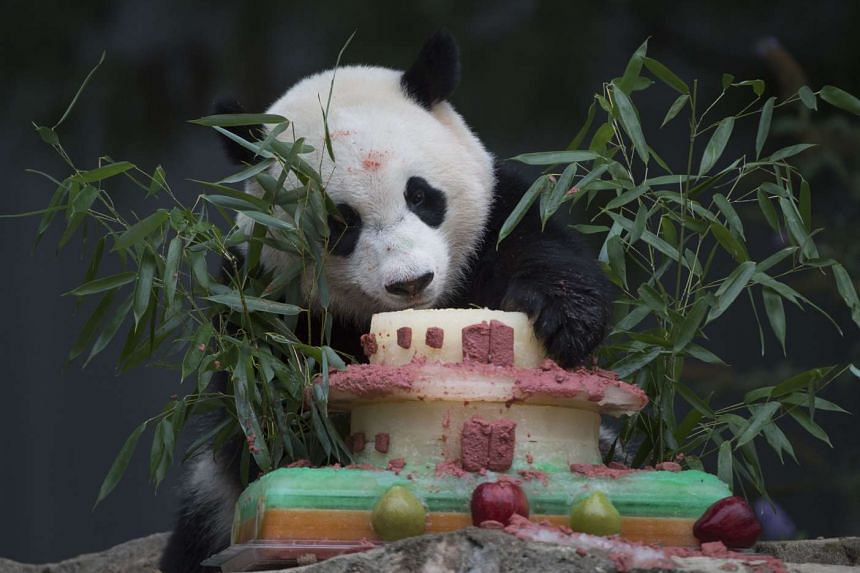 Panda Bao Bao eats a treat before an event featuring First Lady Michelle Obama and Madame Peng Liyuan, First Lady of the People's Republic of China, at the Giant Panda exhibit at the Smithsonian National Zoo.