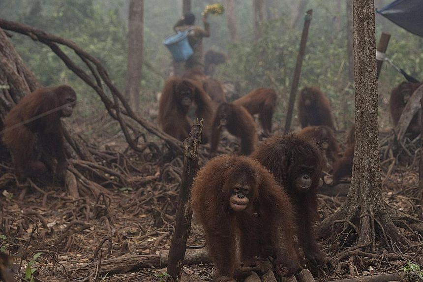 Orang utans in the haze-filled Borneo Orangutan Survival Foundation camp in Nyaru Menteng, Central Kalimantan, on Monday. Home to the world's third-largest tropical forests - and the world's fifth-largest emitter of greenhouse gases mainly due to the