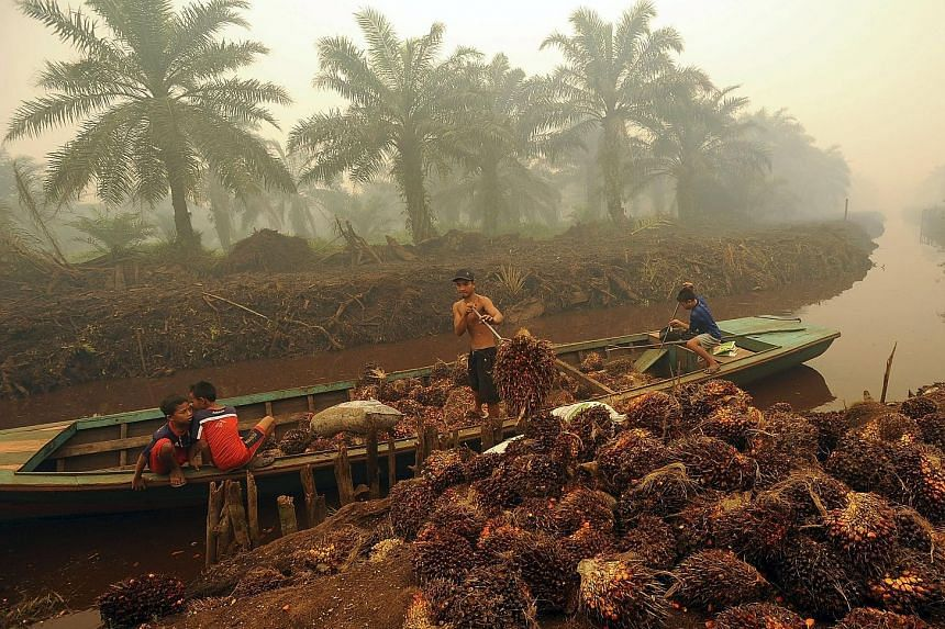 Palm fruit being unloaded at an oil palm plantation in Peat Jaya, Jambi province in Sumatra, where fires have been burning. Mr Viva Yoga Mauladi, a deputy chairman of a parliamentary committee seeking to hold perpetrators behind illegal forest fires