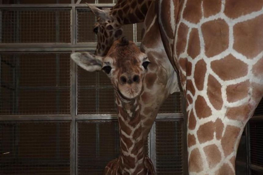 A baby giraffe whose birth at a California zoo was heralded in the region died on Sunday during a special VIP opening of a new exhibit.