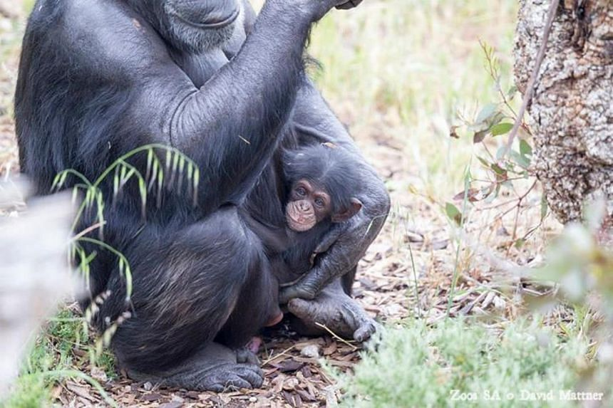 "An orphaned baby chimp named Boon (right) has been adopted by a pregnant female in an ""unheard of"" act after his mother died during birth."