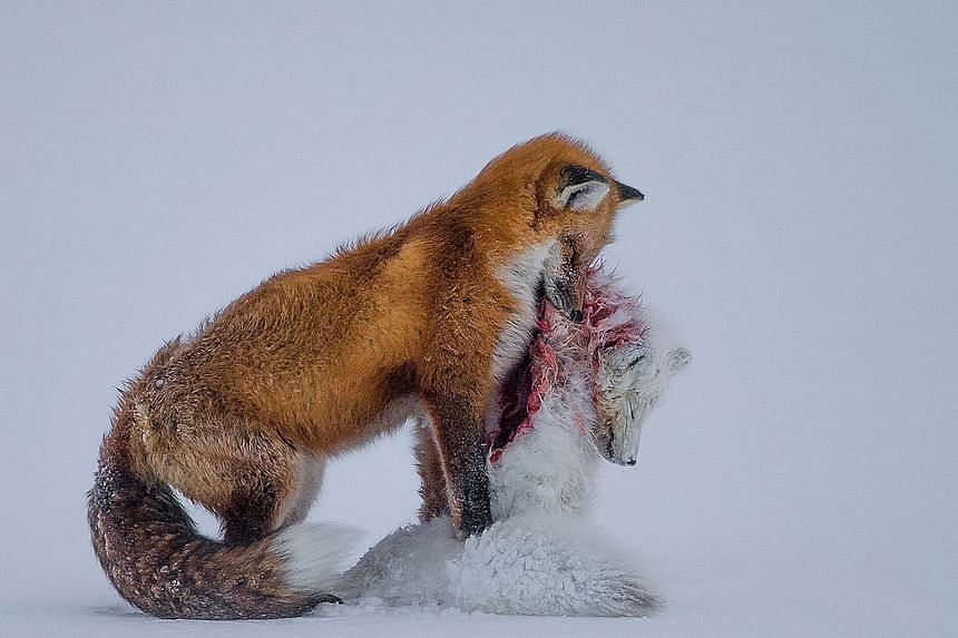Red foxes do not usually prey on Arctic foxes, but this can happen occasionally owing to their overlapping hunting territories, as captured in this winning photograph by Don Gutoski, who bagged the title of Wildlife Photographer of the Year 2015-16.