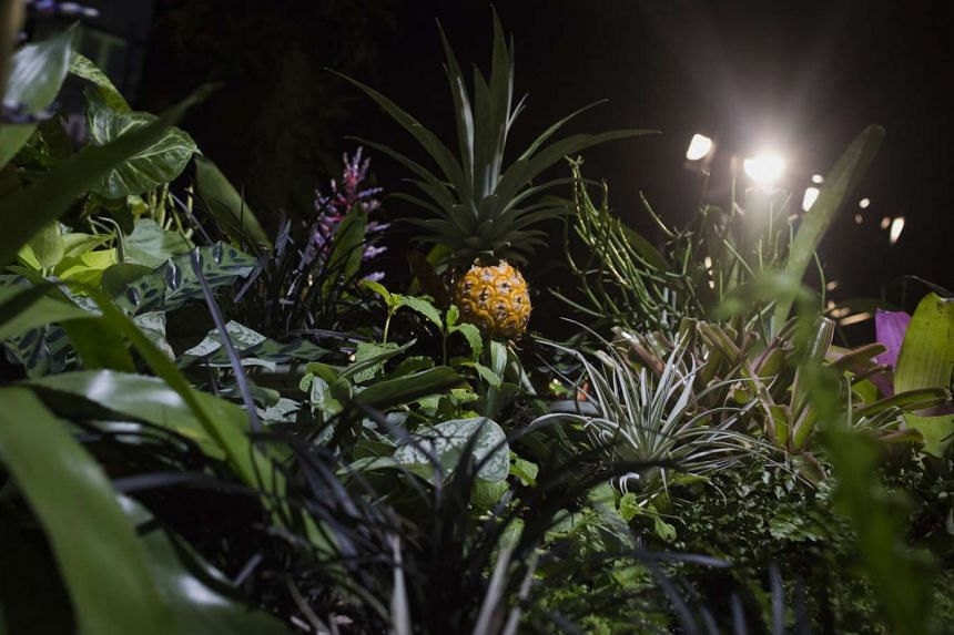 A pineapple (above) and a green plot inside the lab created by Mr James Ramsey.
