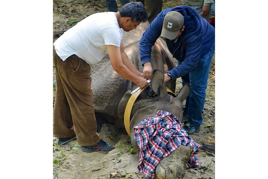 A one-horned rhino being fitted with a tracking collar in Nepal. The Himalayan country has just over 530 rhinos.