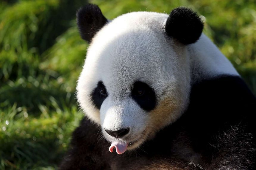 Pandas are critically endamgered, with only about 1,600 giant pandas left in the wild.