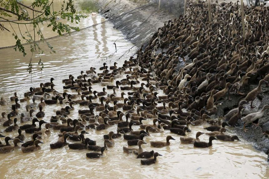 A flock of ducklings swim towards their temporary pen after they were evacuated due to flooding in Jaen, northern Philippines on Oct 20, 2015.