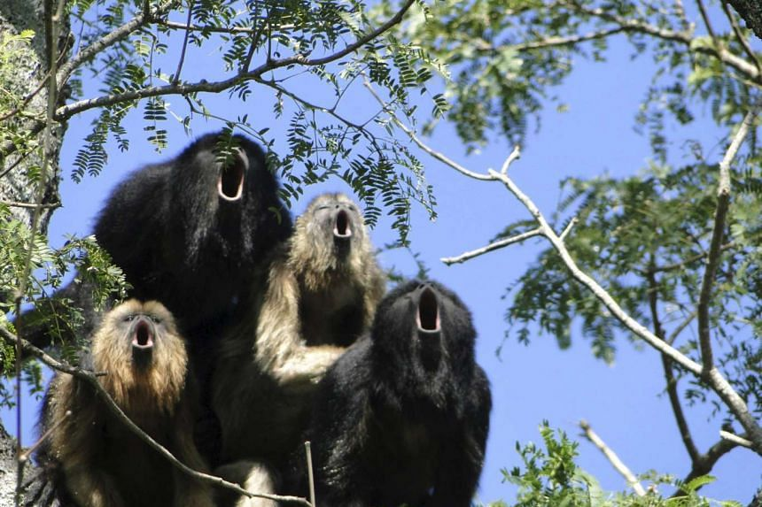 A black howler monkey vocal chorus is seen at the Biological Field Station Corrientes, Argentina.