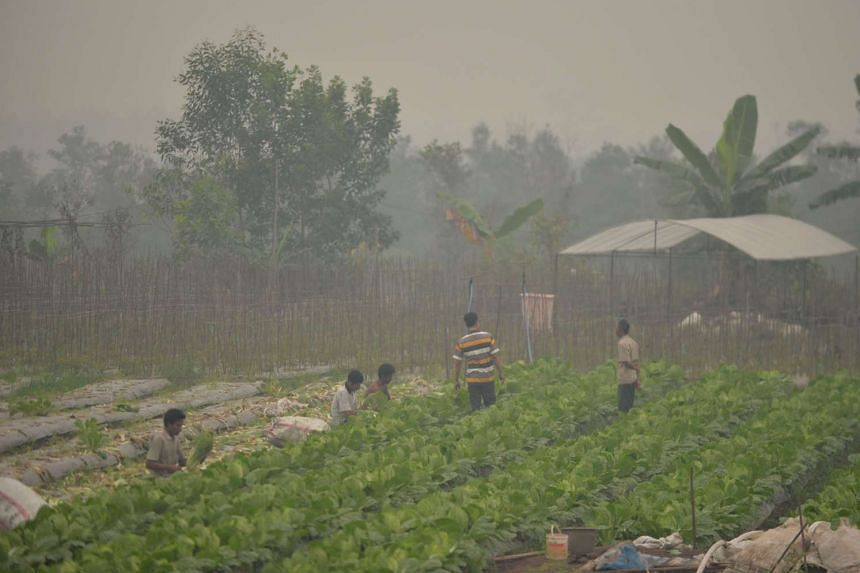 Farmers work on their farm engulfed in a thick haze on the outskirts of Palangkaraya city, Central Kalimantan, Indonesia, on Oct 26, 2015.